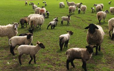 Lovesome Farm Sheep