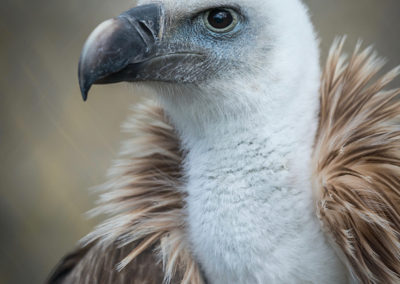 Thirsk Birds of Prey Centre,Eurasian Griffon Vulture