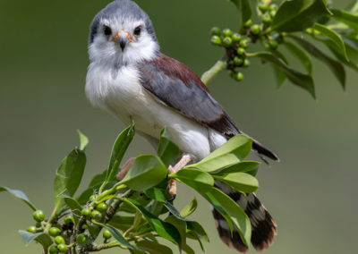 Thirsk Birds of Prey Centre, African Pygmy Falcon
