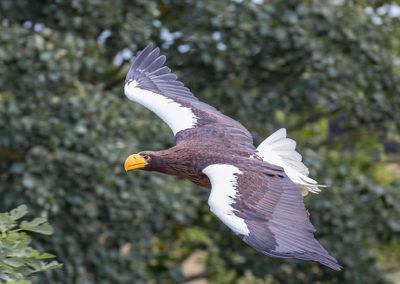 Thirsk Birds of Prey Centre, Hokkaido Steller's Sea Eagle