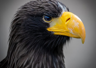 Thirsk Birds of Prey Centre, Hokkaido, Steller's Sea Eagle Flying