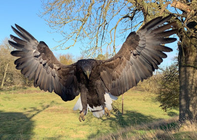 Thirsk Birds of Prey Centre Kyla, White-tailed Sea Eagle