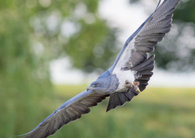 Thirsk Birds of Prey Centre William, Grey Eagle Buzzard